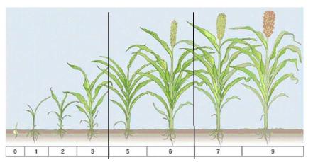Pengembangan Bioethanol Skala Industri Berbasis Tanaman Sorgum Manis